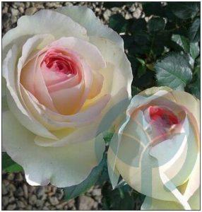 Eden Rose kraków róża parkowa