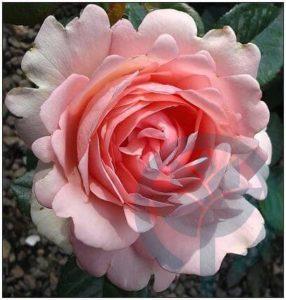 First Lady róża parkowa kraków