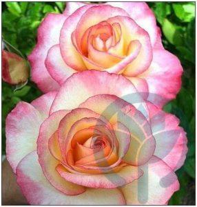 Handel róża parkowa