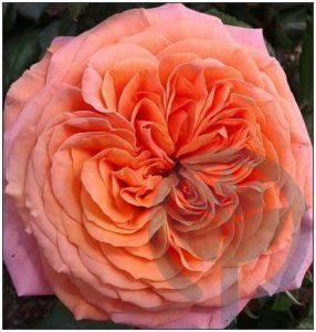 Marie Ann róża parkowa kraków