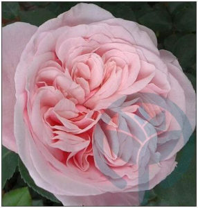 Souvenir de la malmaison róża parkowa kraków