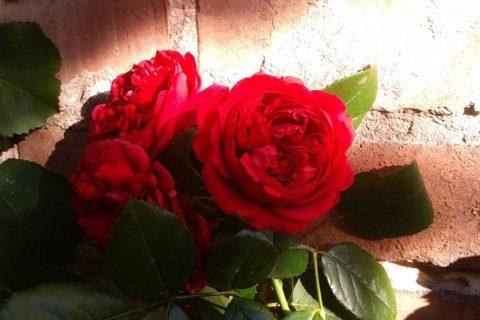 róże kompozycje