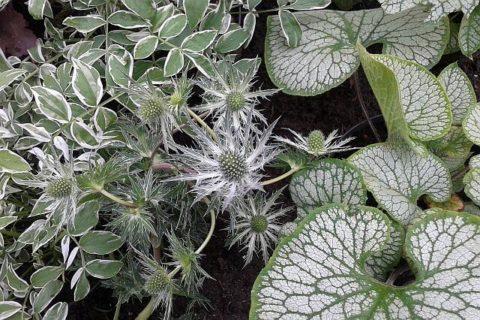 kompozycja z roślin o srebrnych liściach