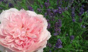 róże byliny rabata różana kraków rozarium