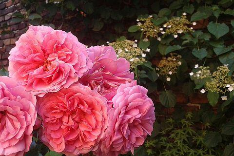 ogrody różane rosarium uettersen kraków