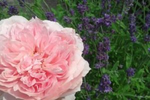 ogrody różane bylinowe angielskie kraków