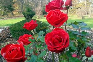 ogród zabytkowy róże w starym ogrodzie cis formowany