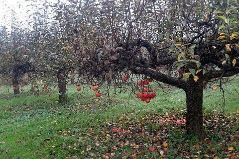 ogród zabytkowy sad stara jabłoń formowana