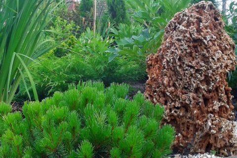 ogród kamień kosodrzewina
