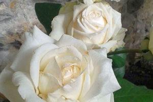 rabata róże kamień
